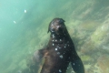 Seehundschwimmen